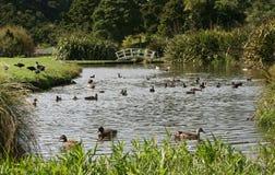 duckar dammvåtmark royaltyfria foton