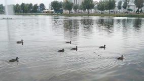 Duckar familjen i sjön arkivfilmer