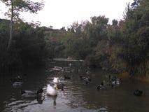 duckar floden Royaltyfria Bilder
