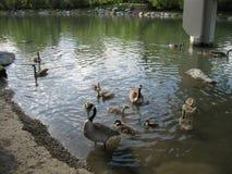 duckar gäss royaltyfri bild