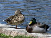duckar gräsand två Arkivfoto