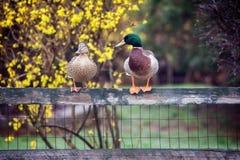 duckar gräsandet fotografering för bildbyråer