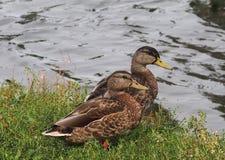duckar gräsandet Royaltyfria Bilder