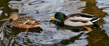 duckar gräsandet Royaltyfri Fotografi