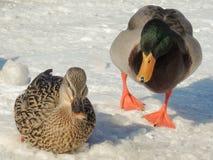 duckar gräsandpar Arkivbilder