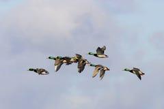 duckar gräsandet Royaltyfri Bild