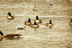 duckar laken Royaltyfri Fotografi