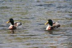 duckar lakepar Arkivbilder