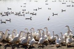 duckar lott Arkivfoto