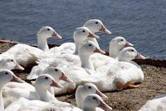 duckar lott Arkivfoton