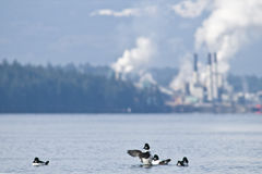 duckar miljön Fotografering för Bildbyråer