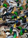 duckar obegränsat Royaltyfri Bild