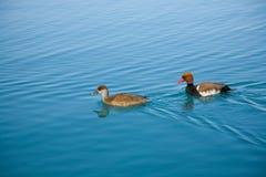 duckar pocharden arkivbild