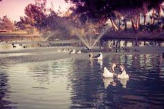 duckar redigerbar full förälskelse för eps Arkivfoto