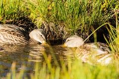 duckar redigerbar full förälskelse för eps Royaltyfri Bild