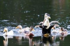 duckar roligt Royaltyfri Foto