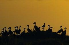duckar silhoettes arkivbilder
