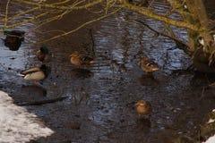 Duckar som simmar i en sjö som frysas med ett iskallt vatten Arkivbild
