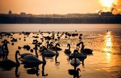 duckar swans Arkivfoto