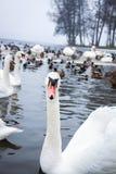 duckar swans royaltyfri foto