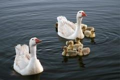 duckar white Arkivfoton