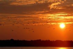 duckar wild fotografering för bildbyråer