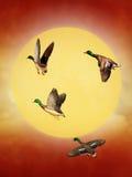 duckar wild Arkivfoto