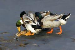 duckar wild Arkivbild