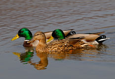 duckar wild Royaltyfria Bilder