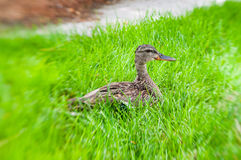 Duckbaby Royalty Free Stock Images