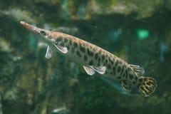Duckbill catfish. Stock Image