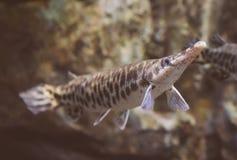 Duckbill catfish. Royalty Free Stock Image