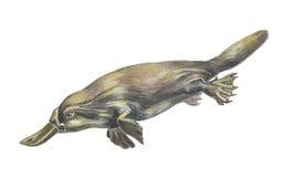 Duckbilled o Platypus Foto de archivo