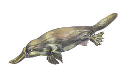 Duckbilled ou Platypus Photo stock