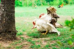 Duckbreed 库存图片
