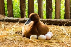 Ducken Sie Brutkasten ihre Eier auf dem Strohnest Stockfotografie