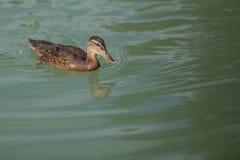 Ducken Sie das Schwimmen in das Wasser des Teichs stockfotografie