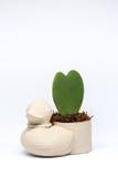 Ducken Sie Miniblumentopf mit der Herzblume, die dem Studio eingelassen wird Lizenzfreies Stockfoto