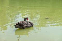 Ducken Sie Schwimmen am Aclimacao-Park in Sao Paulo Stockfotos