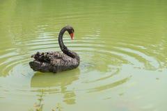 Ducken Sie Schwimmen am Aclimacao-Park in Sao Paulo Lizenzfreie Stockfotos