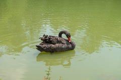 Ducken Sie Schwimmen am Aclimacao-Park in Sao Paulo Stockfotografie