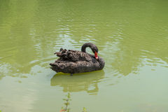 Ducken Sie Schwimmen am Aclimacao-Park in Sao Paulo Lizenzfreie Stockfotografie