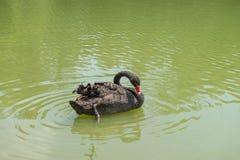 Ducken Sie Schwimmen am Aclimacao-Park in Sao Paulo Lizenzfreies Stockbild
