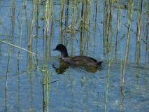 Ducken Sie Schwimmen auf einem Wasser von einem Gebirgssee, Stadt Plav, Montenegro Stockfotos