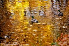 Ducken Sie Schwimmen im See, der die Bäume im Herbst reflektiert Stockbild