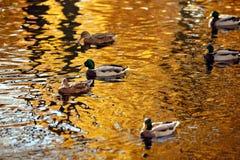 Ducken Sie Schwimmen im See, der die Bäume im Herbst reflektiert Stockfoto