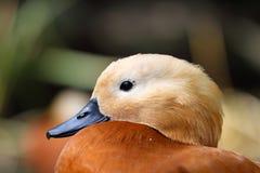 Ducken Sie sich auf das Seeflußtier, Vogel Stockbilder