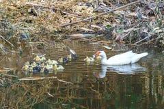 Ducken Sie sich, ducken Sie sich mit dem ersten Mal der Entlein im Wasser auf dem See Lizenzfreies Stockbild