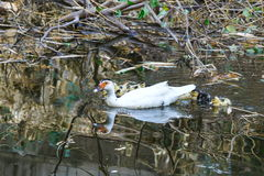 Ducken Sie sich, ducken Sie sich mit dem ersten Mal der Entlein im Wasser auf dem See Lizenzfreie Stockbilder