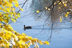 Ducken Sie sich in einen Teich mit einer Niederlassung des gelben Herbstlaubs lizenzfreie stockfotos